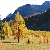 Larch season will never be better