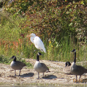 Great Egret among the geese
