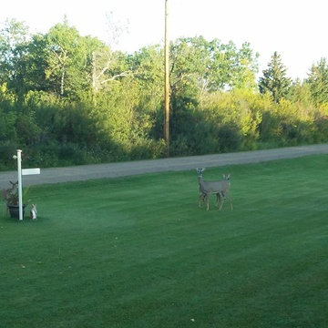 Mama,Bambi and his sister came for breakfast Sept 16 2019