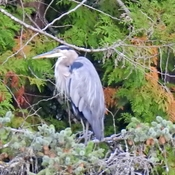 Heron in the trees