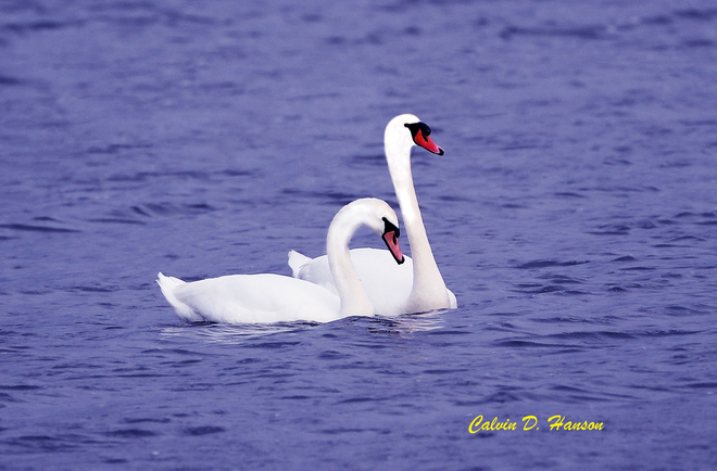New Pair of Mute Swans arrive South Stormont, ON
