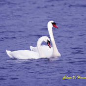New Pair of Mute Swans arrive