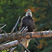 Bald Eagle along the Kaministiquia River