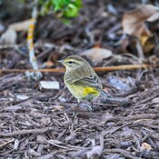 pretty sure this is a palm warbler tampa bay, florida, usa