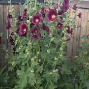 Hollyhocks with a butterfly
