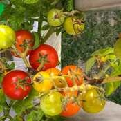 Season end cherry tomatoes