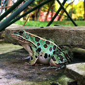 Turquoise leopard frog
