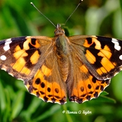 Painted Lady Butterfly lingers