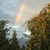 A rainbow and apples for a big black grizzly bear and cougar.. eats veggies.