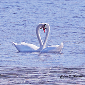 Another Mute Swan pair