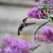 Hummingbird visits our butterfly bush