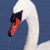 Macro view of a male Mute Swan