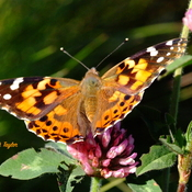 Painted Lady Fuelling Up