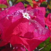 Bougainvillea tampa bay, florida, usa