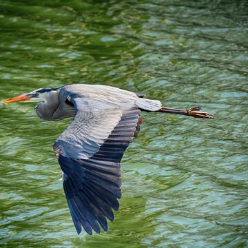 Blue Heron, Tampa Bay, Florida, USA