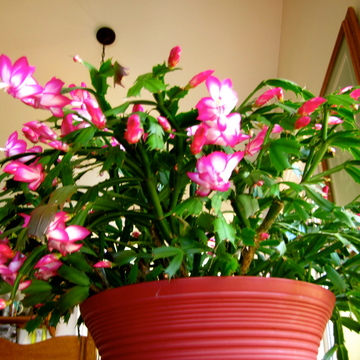 Christmas Cactus, Flowered