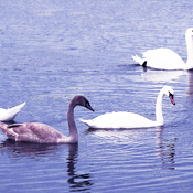 19 week old Mute Swan cygnets