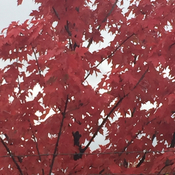 Red maples