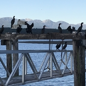 Cormorants waiting for BC Ferries