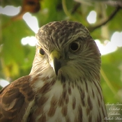 Young Sharp-Shinned Hawk