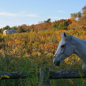 horses in fall colours