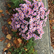 Autumn asters.