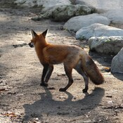 Fox at Rouge Beach Park