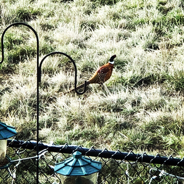 Colourful pheasant pays a visit!