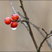 Wet berries, Elliot Lake.