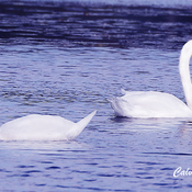 Mute Swans on Thanksgiving Day
