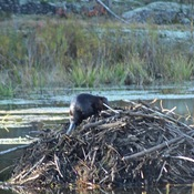 A beavers work is never done....
