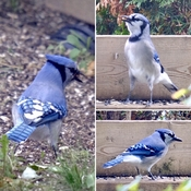 Blue Jay Day