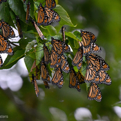 Monarch migration.
