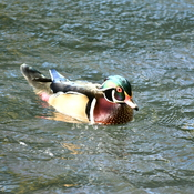 Wood ducks at High Park