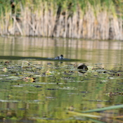 American Coot duck on the Humber river
