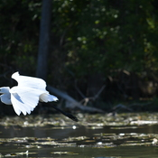 Egrets on the Humber river