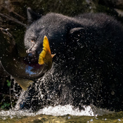 Female Black Bear Fishing for Salmon