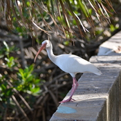 American white ibis tampa bay, florida, usa