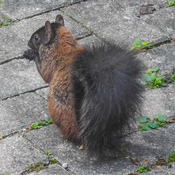 Unusual squirrel