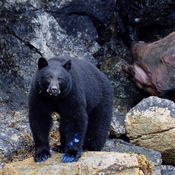 THE BLUE PAINT BLACK BEAR