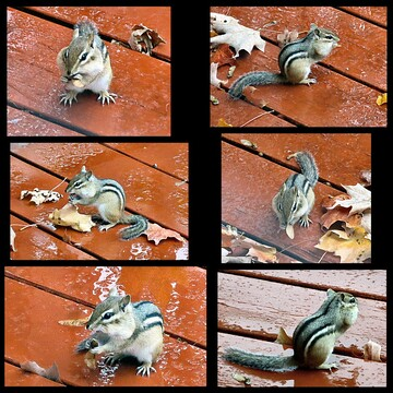 Chipmunk Collage