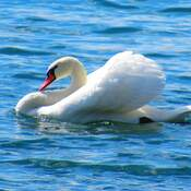 Beautiful Swan in Bronte Harbour