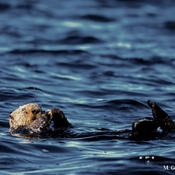 SEA OTTER HAVING LUNCH