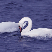 A pair of wild Mute Swans