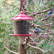 Young Blue Jays