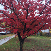 Dogwood tree turns red in Autumn.