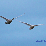 Mute Swan cygnets flying high