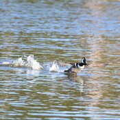 Hooded merganser taking off tampa bay, florida, usa