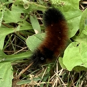 Happy woolybear