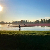 Cranberry harvesting in Pitt Meadows, BC